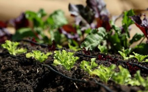 Organic Garden At San Francisco City Hall Promotes Slow Food Movement